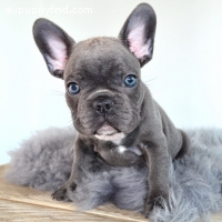 Available french bull dog puppy