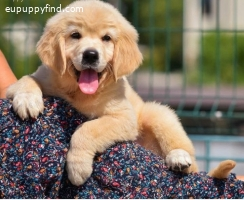 Available Golden Retriever Pups For adoption