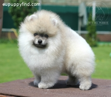 Beautiful puppy from champions