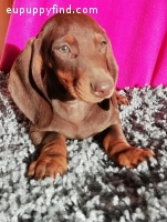 Beautiful Show Dachshund Puppies