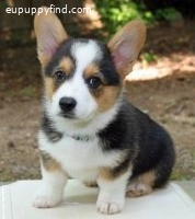 Best Pembroke Welsh Corgi Puppies for adoption