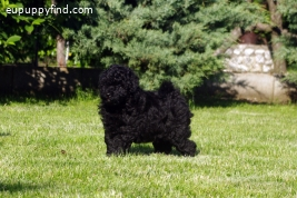 Black Quality Hungarian Puli Puppies for Sale!