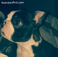 boston terrier boy for sale