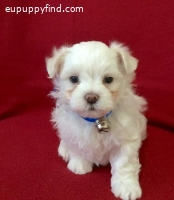 Cute Maltese pup needs a home ,,,,,,/
