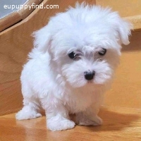cute Maltese Puppies Available For Sale