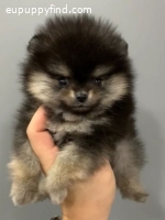 EXQUISITE TCUP POMERANIAN CALL ***438-820-2911***