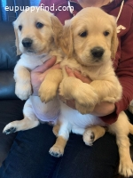 Gorgeous Golden Retriever KC Reg Puppies For Sale