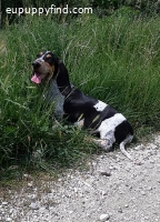 ABA , Basset Bleu de Gascogne boy for sale