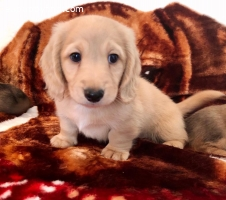 Miniature English Cream Longhair Dachshunds