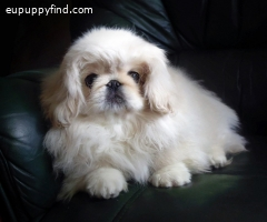 Pekingese female white-cream color