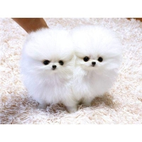 teacup pomeranian puppies for sale.
