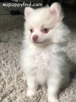 Tiny Super Sweet Purebred Pomeranian Puppy