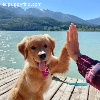 Two Outstanding Golden Retriver Puppies Available