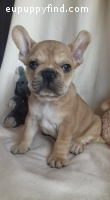 Urajiro French Bulldog Male