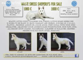 WHITE SWISS SHEPERD'S FOR SALE