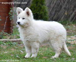 White Swiss Shepherd female puppy available!