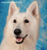 White Swiss Shepherd Puppies for sale